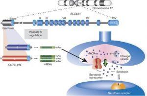 Es wurde gezeigt, dass die L-Allele eine Zunahme der Transkription im SLC6A4-Gen verursachen, was zu einer Zunahme der Anzahl von SLC6A4-Proteinen führt.